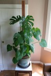 Split-leaf Philodendron - a must have.
