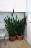 Snake Plant - Another no-brainer. Virtually impossible to kill. The clay pots need replacing with something more appropriate...