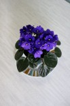 African Violet - A beautiful old-timer.