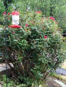miss jeans rosebush