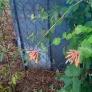 flowering-vine