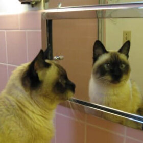 siamese cat in pink bathroom