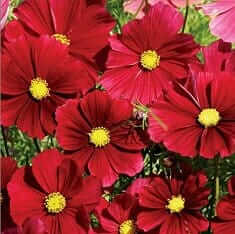 select seeds cosmos