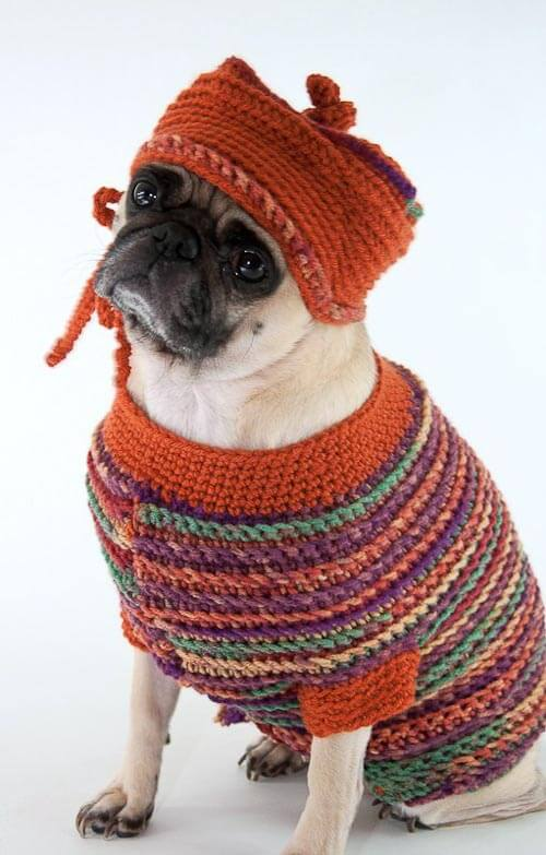 pug in a dog sweater
