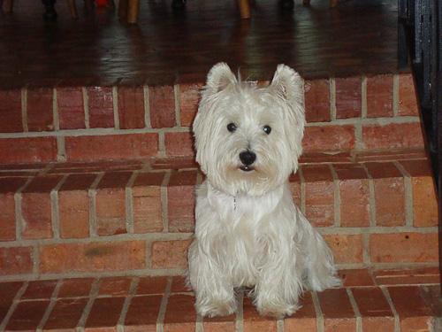 west highland terrier mcduff