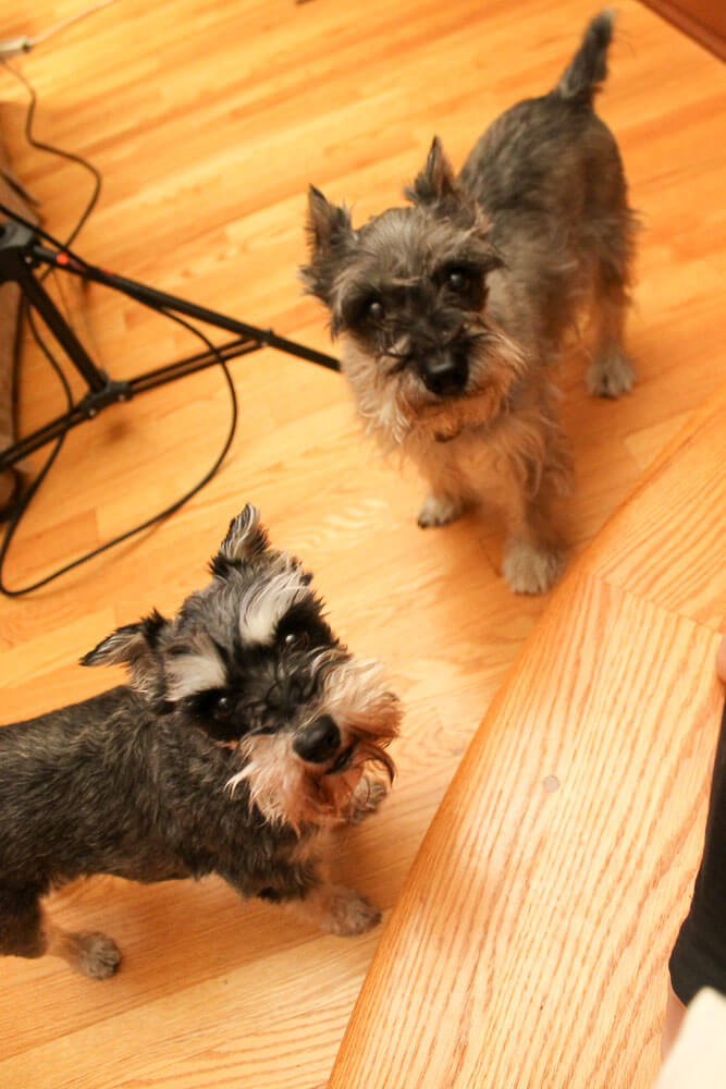 miniature schnauzers helping out