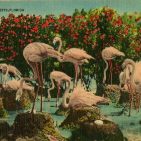 vintage florida postcard with flamboyance of flamingoes