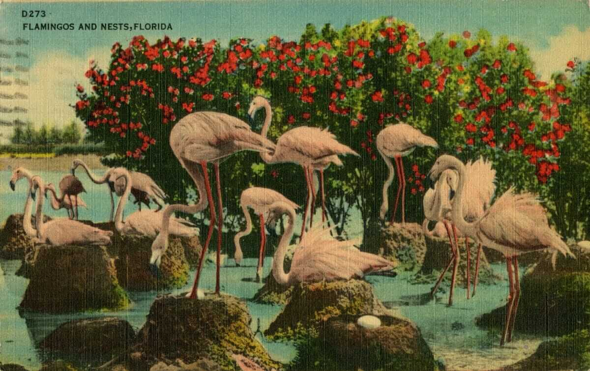 vintage florida postcard with flamboyance of flamingoes